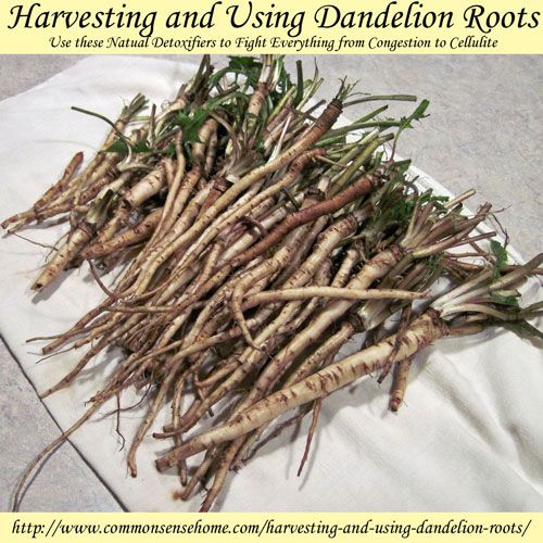 """Dandelion roots are best harvested from late fall through early spring, when the plant is dormant and has stored up energy in the root.  For medicinal use, most sources say fall harvest is best...  Spring roots will be less bitter and chewy – just make sure you dig them before the plants start to blossom. Spring roots are also higher in taraxacin, which stimulates bile production."""