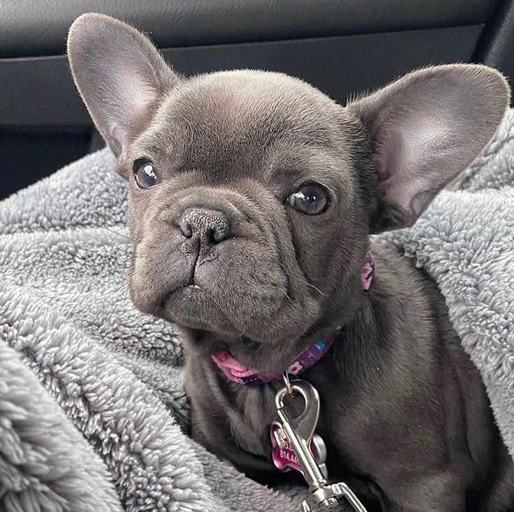 Pin on French Bulldog Puppies