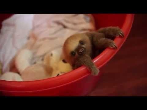 Cucciolo di bradipo con appena 2 giorni di vita! - Guardalo