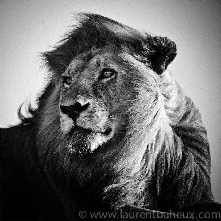 Célèbre Les 25 meilleures idées de la catégorie Lions blancs sur Pinterest  PF54