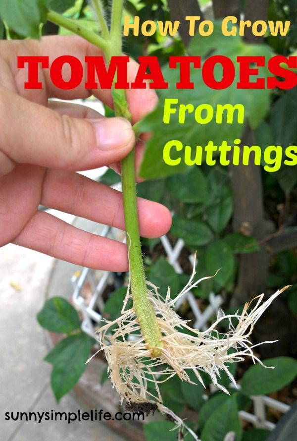 Sunny Simple Life: How To Grow Tomato Plants From Cuttings