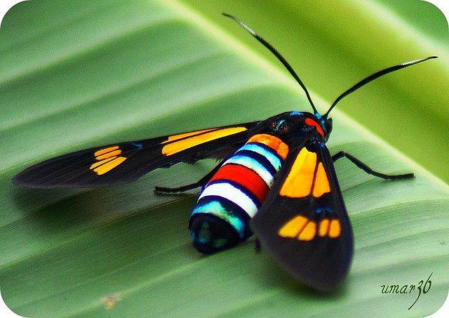 African Day-Flying Moth by umar36, via Flickr