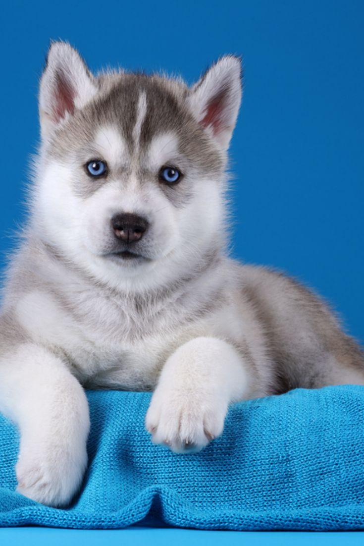 Cute gray siberian husky puppy on a blue background