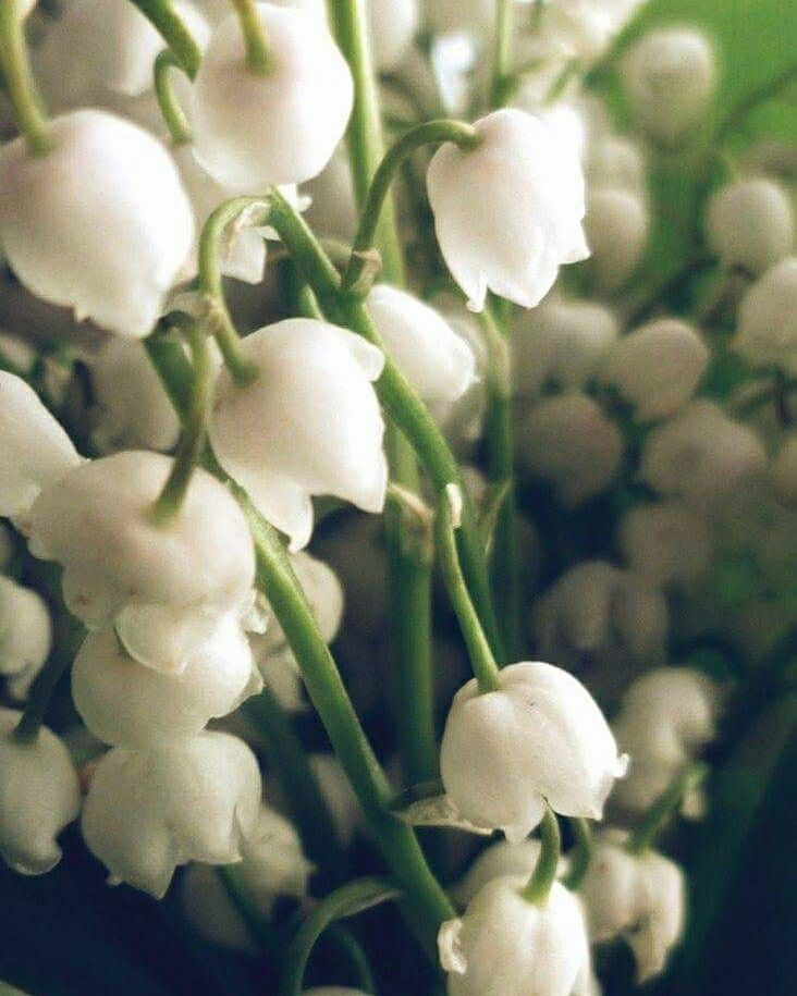 #Flowers #photo #white
