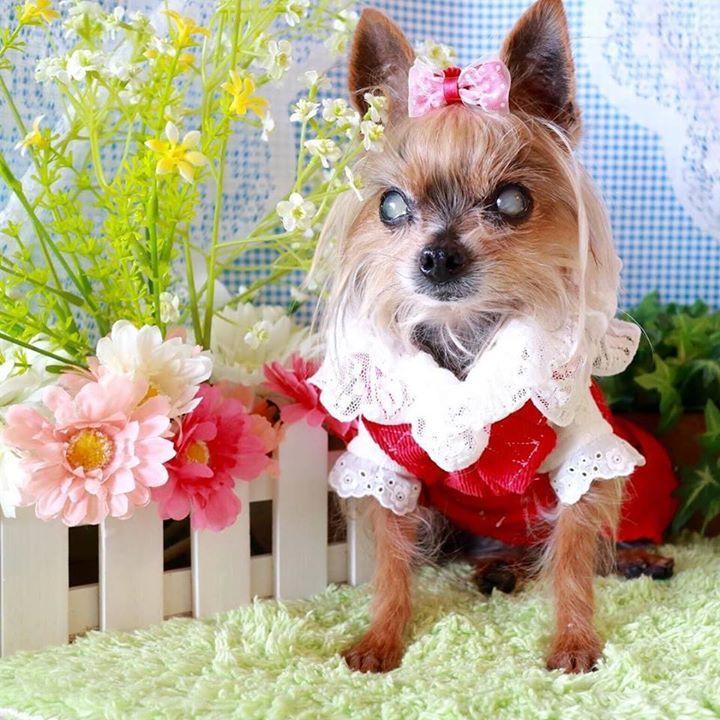 2016.3.13 寒いからお家撮影会 #ヨーキー #ヨークシャテリア #チワワ #ちわわ #多頭飼い #仲良し #chihuahua #わんこ #シニア犬 #yorkie #terrier #yorksireterrier #dog #dogs #dogstagram #cute #love #カメラ#dogsofinstagram #instadog #todayswanko #dogs_of_instagram #lovemydog #cutedogs #lovedogs #petstagram #olddog #チームシニアヨーキー #カメラ女子 #キャノン  by mini_mini_rin  http://bit.ly/teacupdogshq