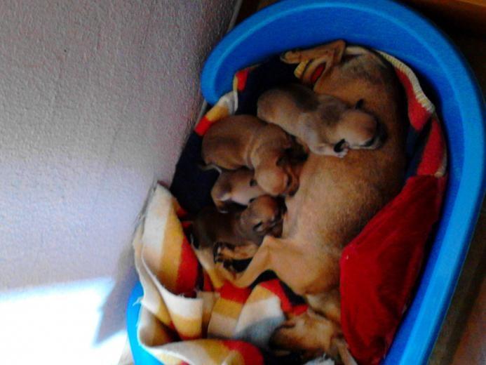 Se Venden Chiwawas - Perros pequeños en Sevilla, Tomares.