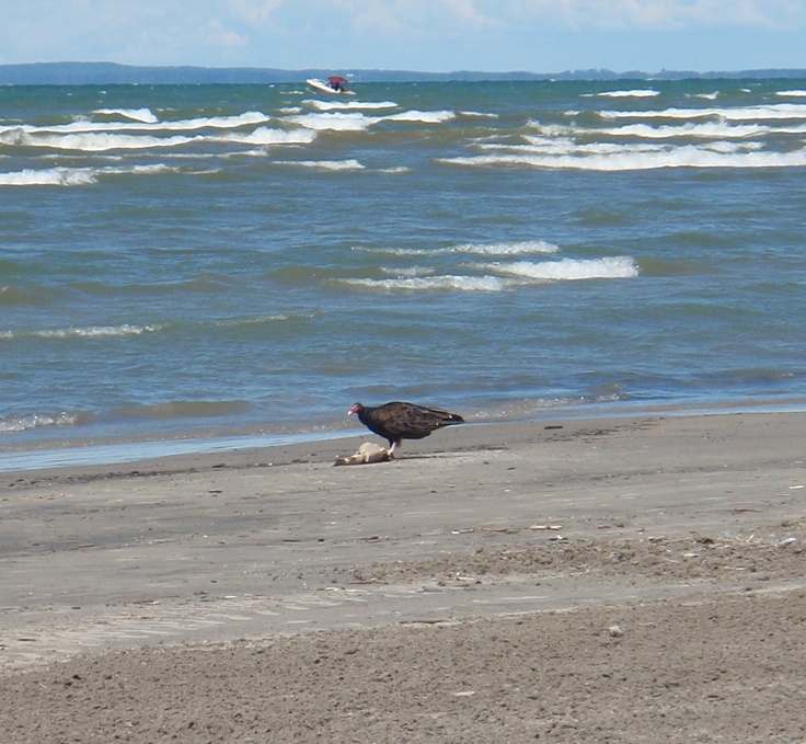 Vulture on the Beach