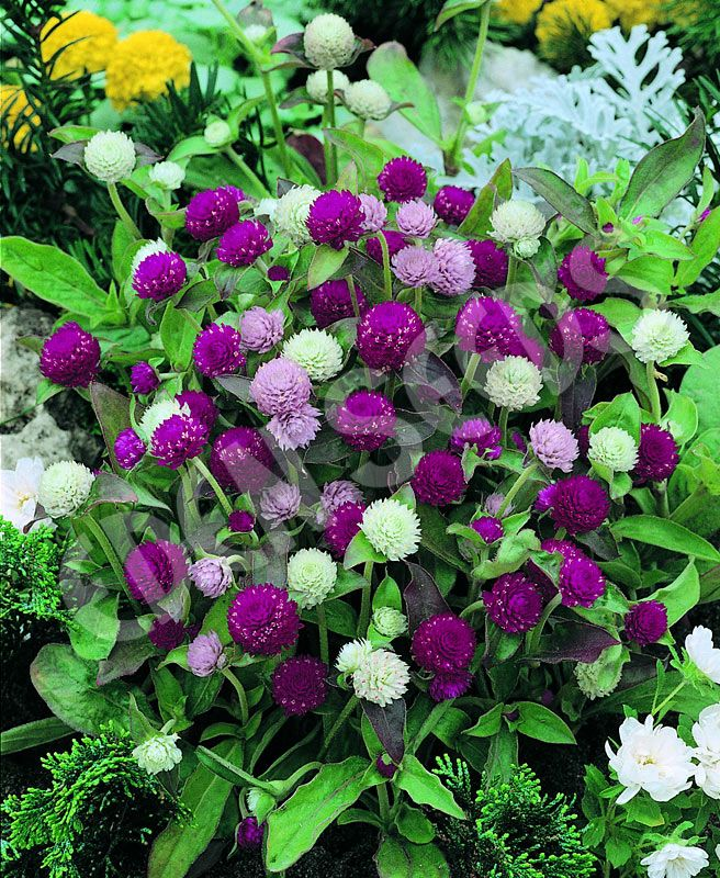 Gomphrena - Tall Mixed | Eden Seeds= Garden Spot if these colors