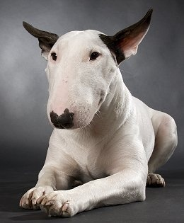 What a beauty! English Bull Terrier.