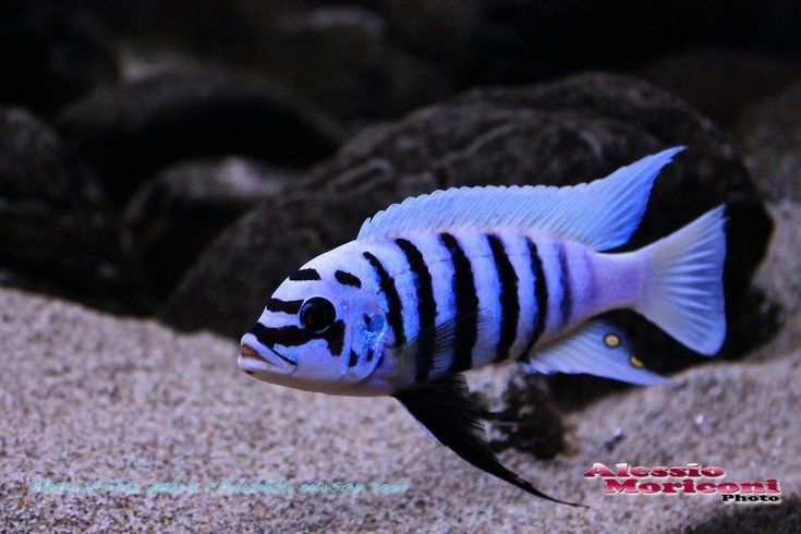 Metriaclima zebra Chilumba Maison Reef                                                                                                                                                                                 More
