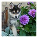 Thinking to have a Pomsky puppy as your pet? The Husky-Pomeranian mix is fast becoming a very popular household pet. Learn everything about Pomskies here.