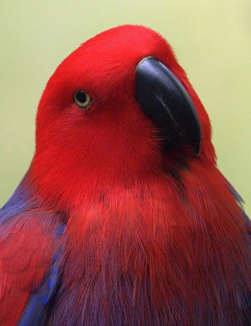 Parrot female eclectus