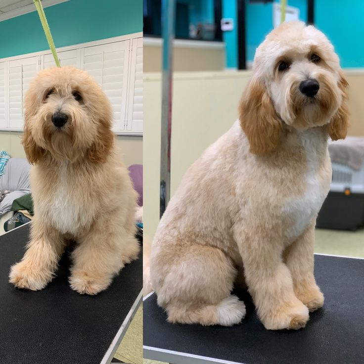 Goldendoodle haircut dog grooming in 2020 dog grooming
