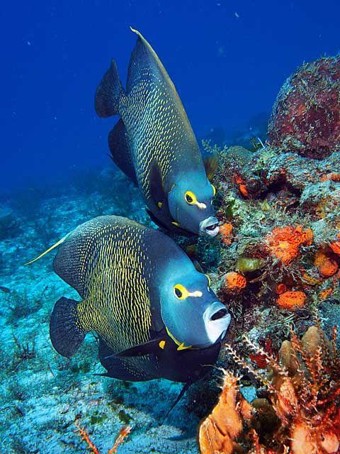 Peces tropicales en  los arrecifes de coral