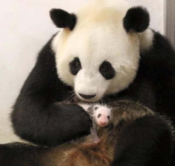 Pairi Daiza: fini le rose pour le bébé panda (photos) - lesoir.be