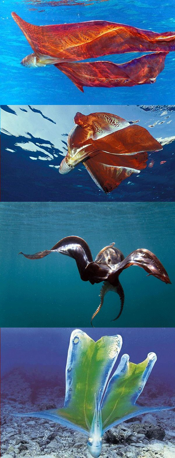 Blanket Octopus   Blanket Octopus Mating