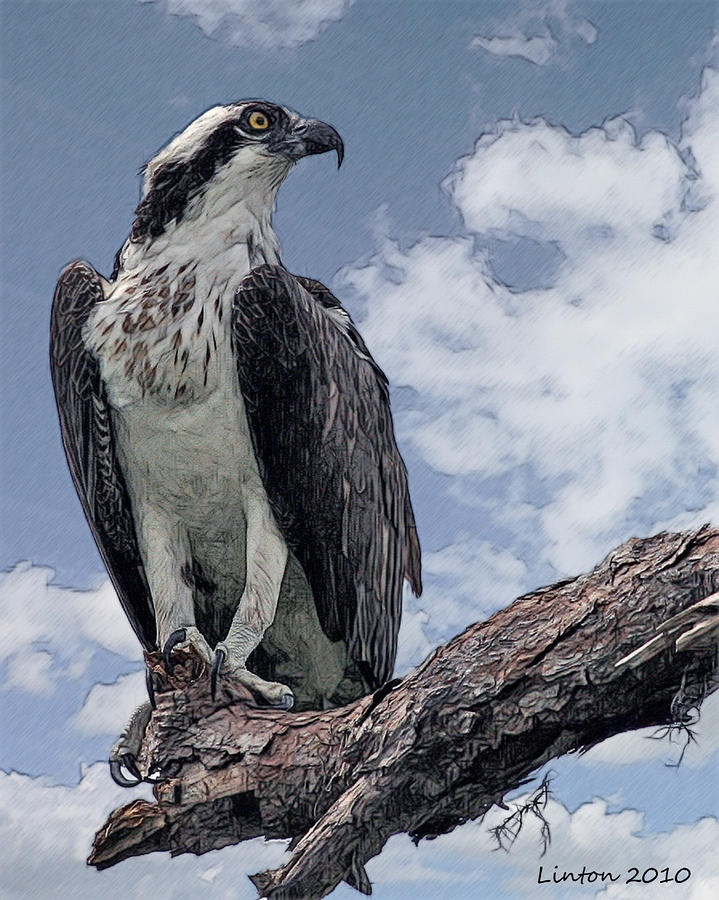 17 best images about osprey on pinterest the nest birds for Fish hawk bird