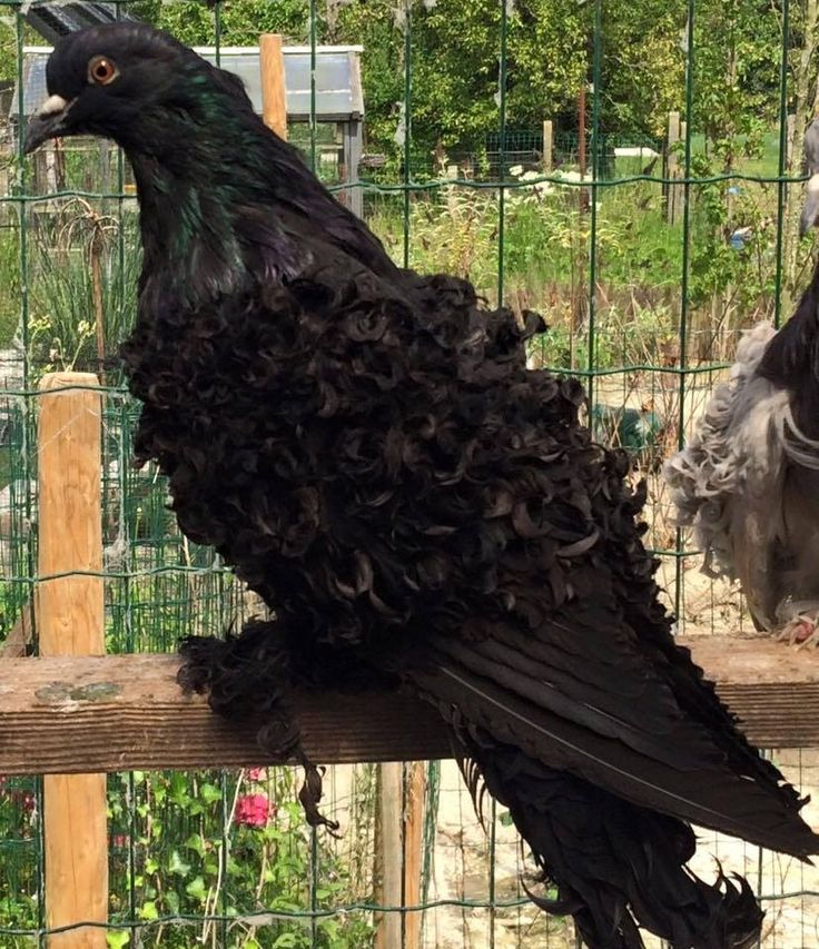 Black Frillback Pigeon