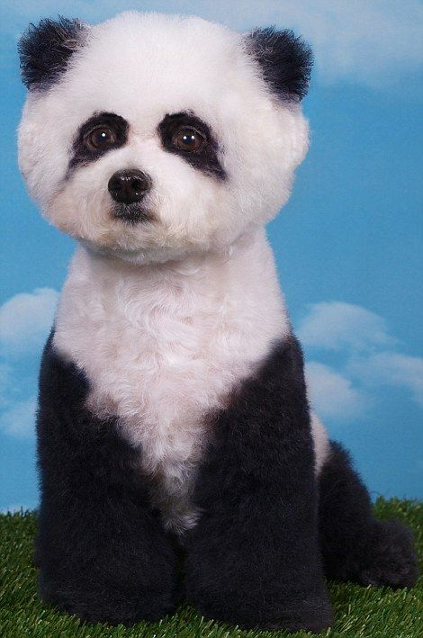 Forced to look like a panda. Not quite sure what dog breed he started with.