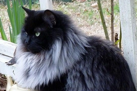 Black Cat Grows Magnificent White Winter Mane