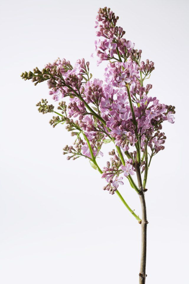 You Or Someone You Know Probably Loves The Smell Of Lilac But Once The Flowers Die The Fragrance Goes With Them Lila Lilac Tree Lilac Bushes Lilac Flowers