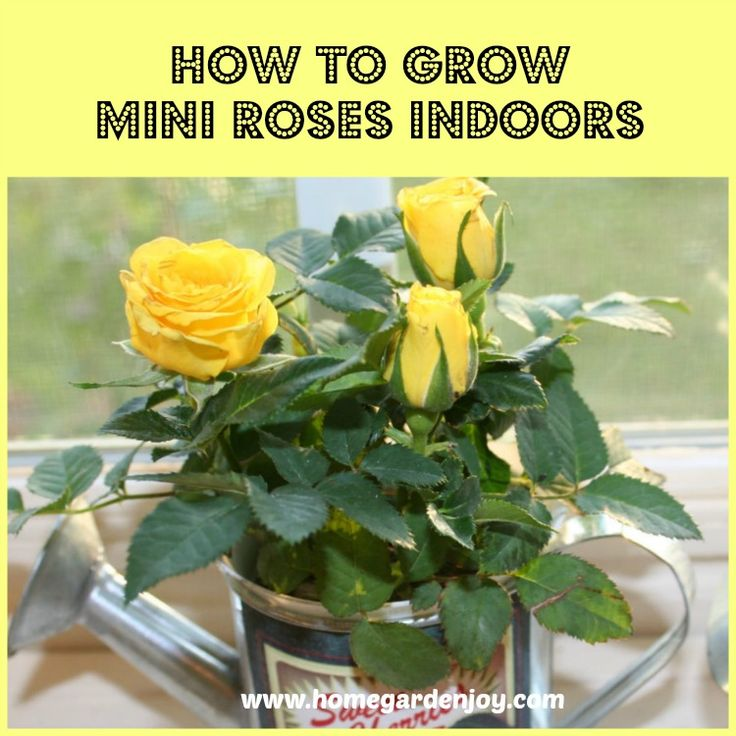 How to Grow Mini Roses Indoors