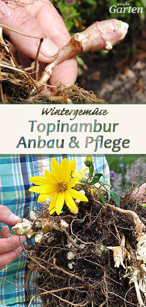 Topinambur Im Garten Anbauen In 2020 Topinambur Pflanzen Topinambur Garten Anpflanzen