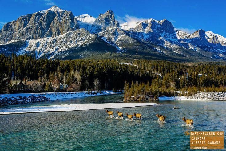 Elk crossing river Canmore Alberta Canada.jpg