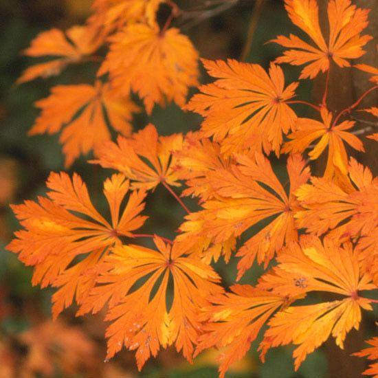 """érable du Japon """"Maiku Jaku"""" à feuillage orange de forme intéressante"""
