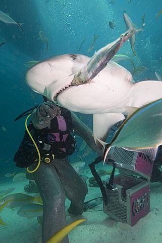 Alimentación de tiburones en Stuart Cove, Bahamas, Antillas, América Central