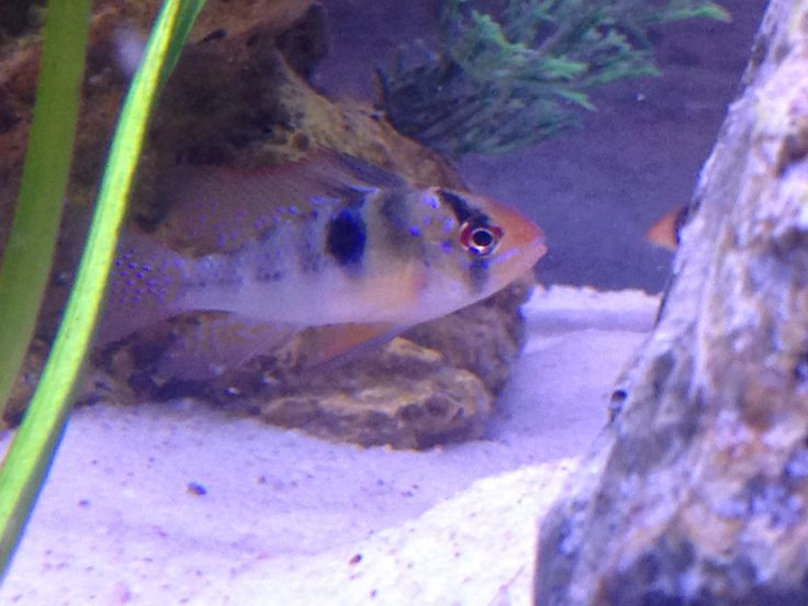 German blue ram cichlid our tank pinterest blue and for German ram fish