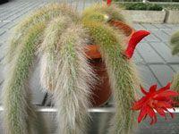 Le cactus ''queue de singe'' est une espèce très séduisante ! Ses longues ...