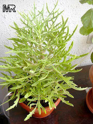 Kalanchoe laciniata   Sus hojas son carnosas, pecioladas, muy variables..a veces compuestas (de trifoliadas a pinnatífidas)   Los Kalanchoes