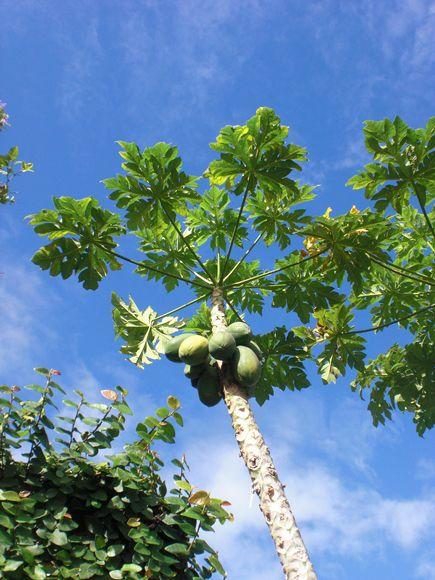 パパイヤの木 / papaya tree **from Trinidad and Tobago**