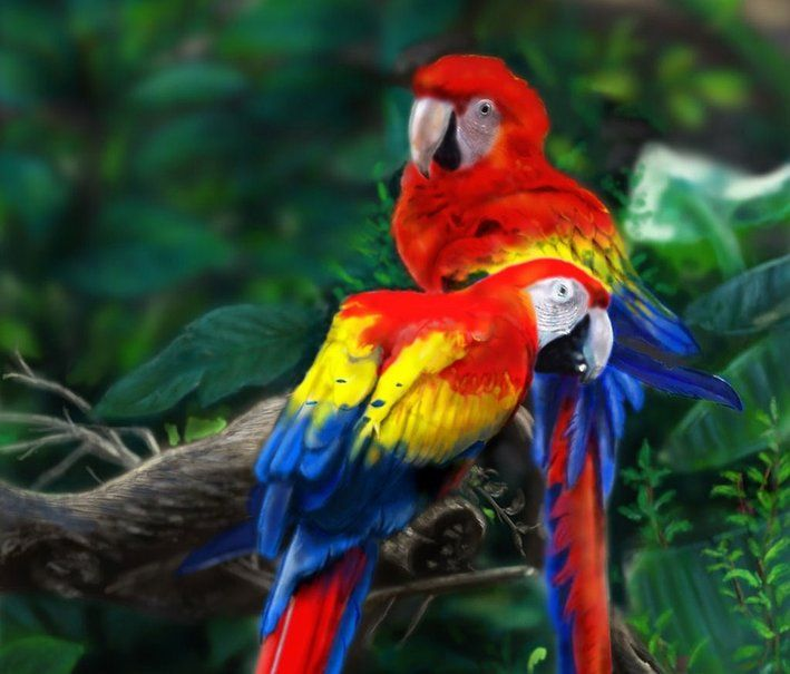 HONDURAS The Scarlet Macaw Ara Macao Is A Large Red Yellow And Blue South American Parrot