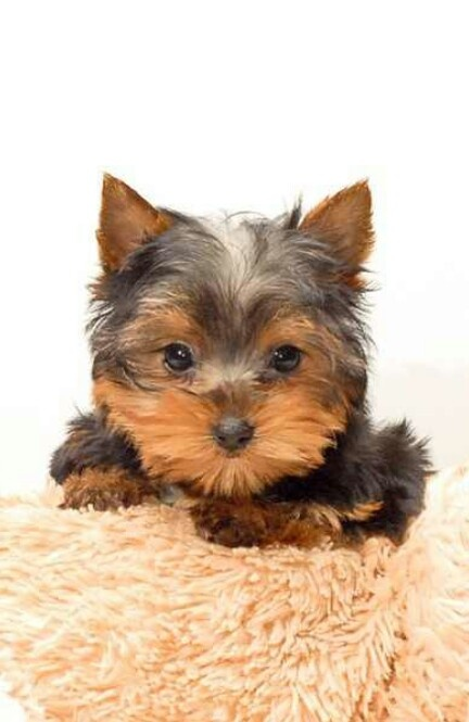 husky yorkie 17 best images about baby yorkies and huskys on pinterest 892
