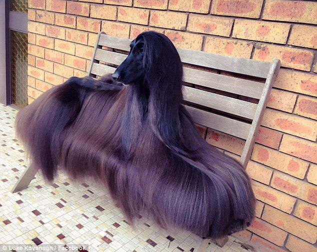Tea the black Afghan hound became a social media superstar when this photo of her was shar...