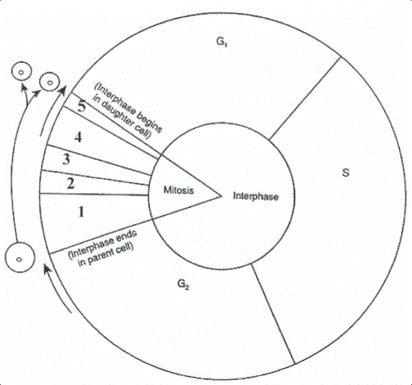 Cell Cycle Diagram Worksheet | BIO 111 Inquiry/Active ...