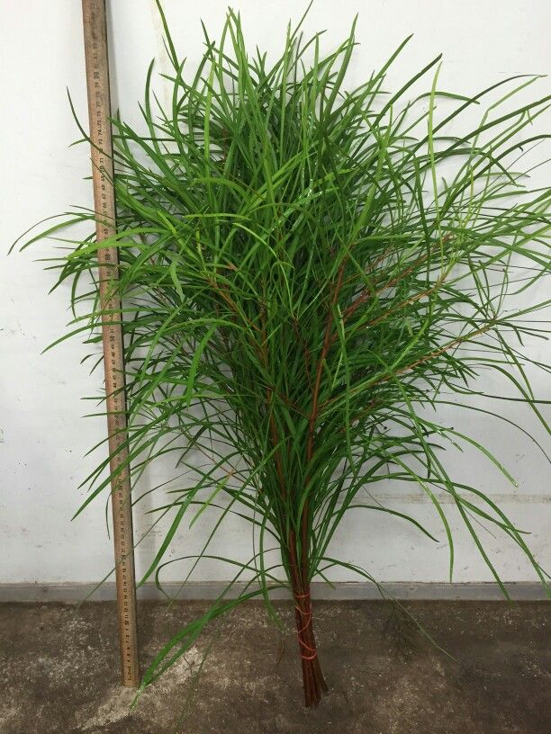 Snottygobble! Persoonia greens. Elegant tall full branching foliage. Available May on. #Australian