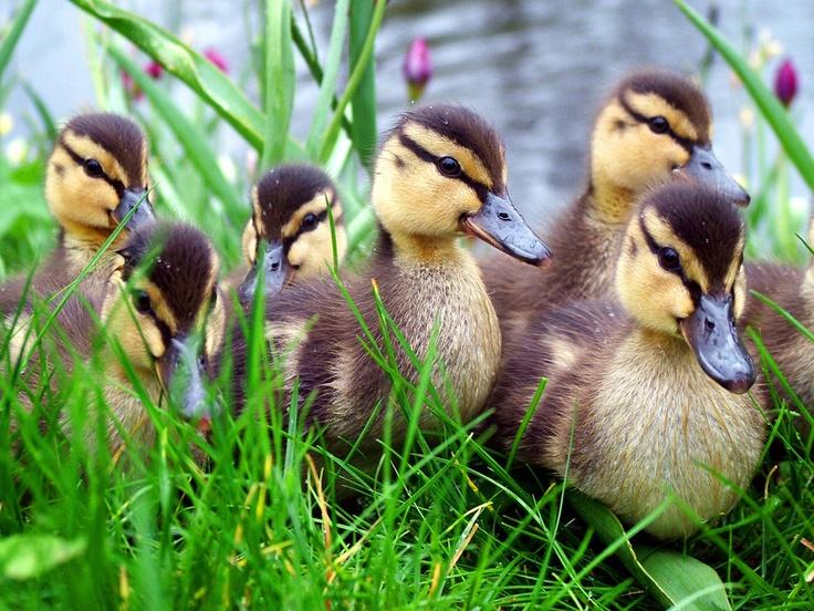 Ducklings... Sweet little puffs of fluff