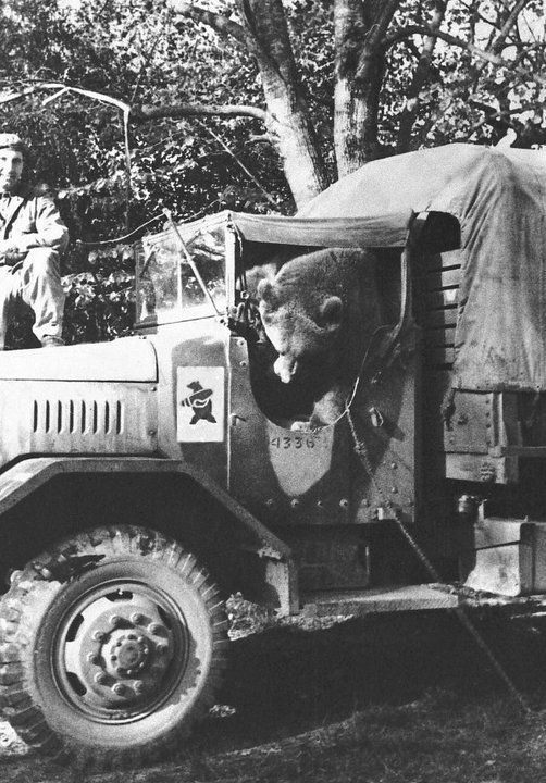 'Wojtek (1942–1963) was a Syrian brown bear cub adopted by soldiers of the 22nd Artillery of the Polish II Corps. 'He was officially drafted into the Polish Army as a private. During the Battle of Monte Cassino, Wojtek helped move ammunition.
