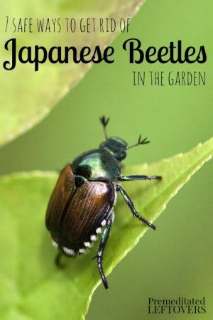 7 Safe Ways to Get Rid of Japanese Beetles in the Garden