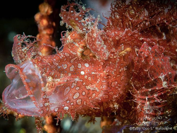 "This magnificent species of scorpionfish also known as Rhinopias can display different color variations and appendages according to its habitat and environment – making it a star of camouflage!  Weedy Scorpionfish ( Rhinopias frondosa ) - Photo by Vadly ""Opo S."" Makasighe #StarofLembeh #Lembeh #Diving #Underwaterphotography"