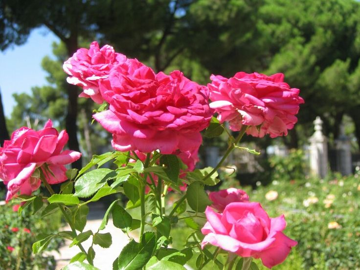 Park rozen