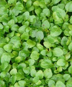 :: Mentha requienii - Korsische Polster-Minze :: Biokräuter :: Mentha - Minze :: Minze von A bis Z - Pflanzenversand Gaissmayer