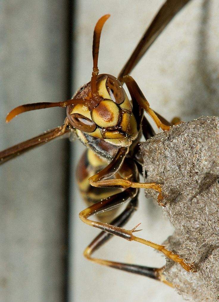 The Schmidt Sting Pain Index: How Much Could You Take? ~ The Ark In Space - Paper Wasp