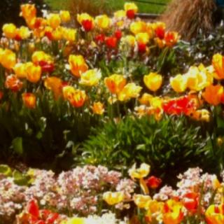 San Francisco Pier Tulip Garden