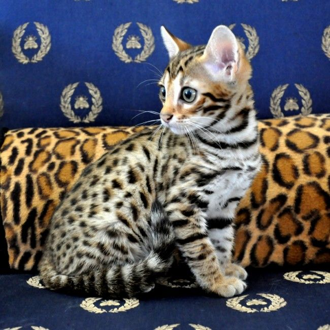 Bengal cats for sale in victoria texas