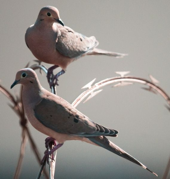 19 best Turtle Doves images on Pinterest | Turtle dove, 12 ...