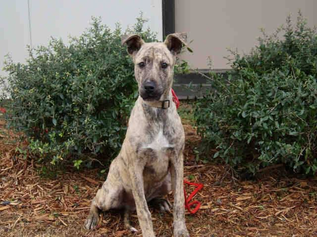 """***URGENT ON THE EUTH LIST 8-21-13!***   MOBILE, ALABAMA! SABER - ID#A047494 Saber is a 1 year old, neutered, Black Mouth Cur/Plott Hound mix.  Picked up as a stray recently. His """"family"""" was contacted but never came for him. Mobile County Animal Shelter 7665 Howells Ferry Rd Mobile, AL 36618.   If you would like to adopt or foster, please email adopt@saveasoutherndog.com!  https://www.facebook.com/photo.php?fbid=560424170677539=a.193103557409604.60105.193102227409737=1_count=1"""